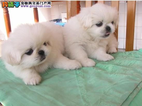 饮食科学 京巴犬的饲料有哪些种类