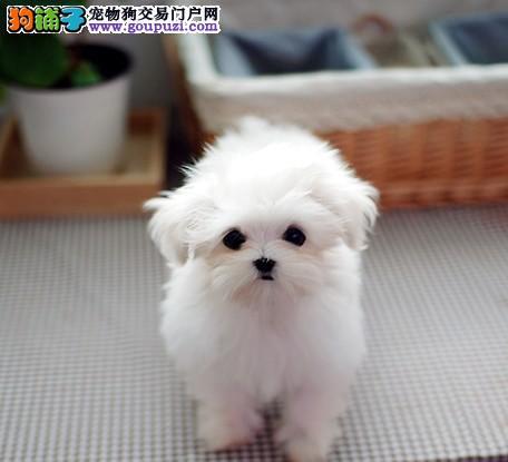 济南大型犬舍直销纯种马尔济斯犬 保证健康 放心购买