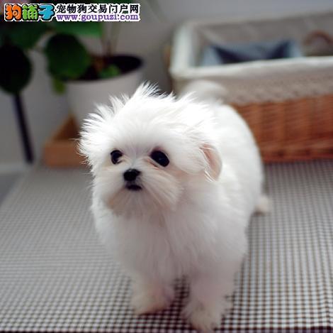 济南大型犬舍直销纯种马尔济斯犬 保证健康 放心购买3