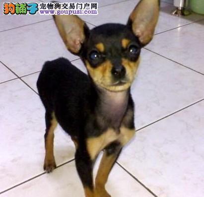 多种颜色的赛级小鹿犬幼犬寻找主人铜仁市内免费送货