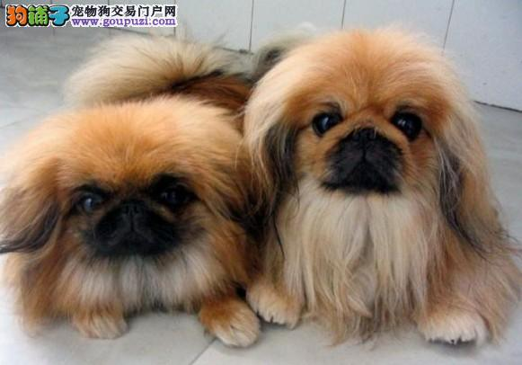 宿迁售纯种京巴犬 北京犬狮子犬疫苗驱虫已做可挑选