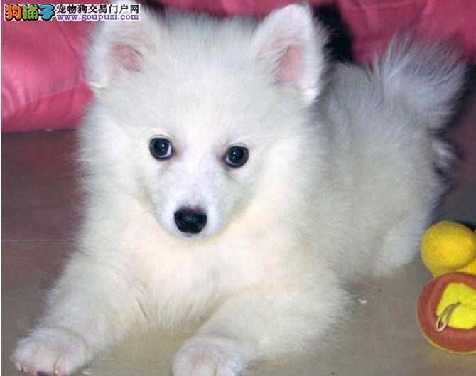 出售纯种日本尖嘴银狐犬 雪白 多只可选 衢州出售