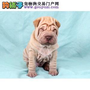 辽阳出售高品质憨厚沙皮犬 质量三包 品质优越健康质保