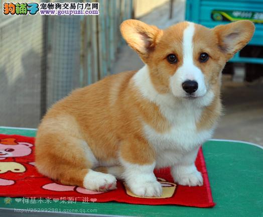 纯种柯基犬出售 双血统柯基幼犬小短腿儿 品相好品质高