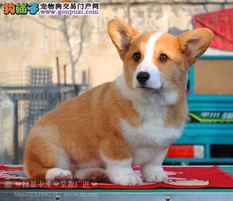 威尔士柯基犬幼犬出售 纯种柯基犬 小短腿儿 周边可送货