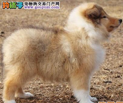苏格兰牧羊犬哪里有卖、广州犬业出售纯种苏牧1