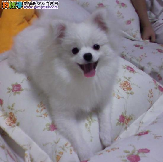 广州哪里有卖银狐犬 广州名虹狗场专业繁殖出售