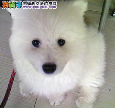 兰州银狐犬舍直销高品质银狐犬疫苗驱虫已做售出签协议
