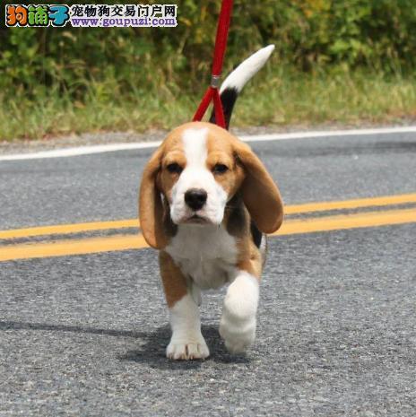 贵阳出售比格犬公母都有品质一流微信视频看狗