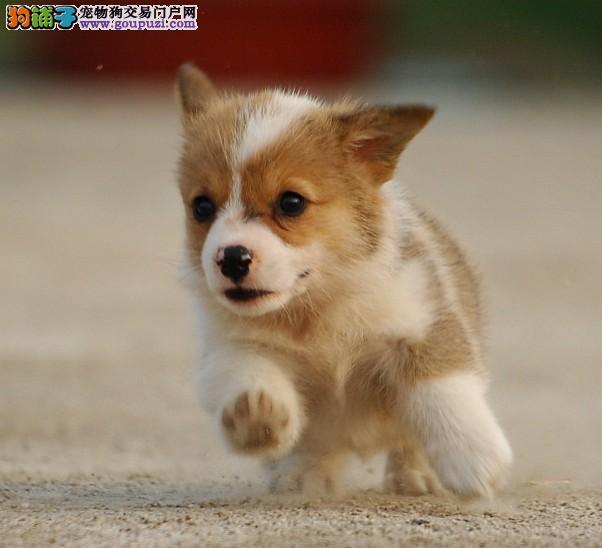 天津聪明忠诚的柯基幼犬出售 责任心强护主忠诚的伴侣