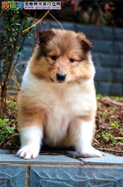 专业繁殖基地售顶级双冠苏牧幼犬 健康质保三针做齐