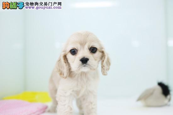 可卡北京最大的正规犬舍完美售后品质优良诚信为本
