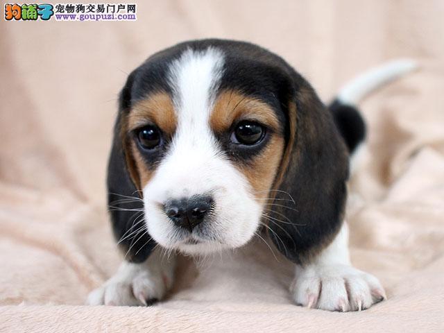 大连养殖场直销完美品相的比格犬均有三证保障