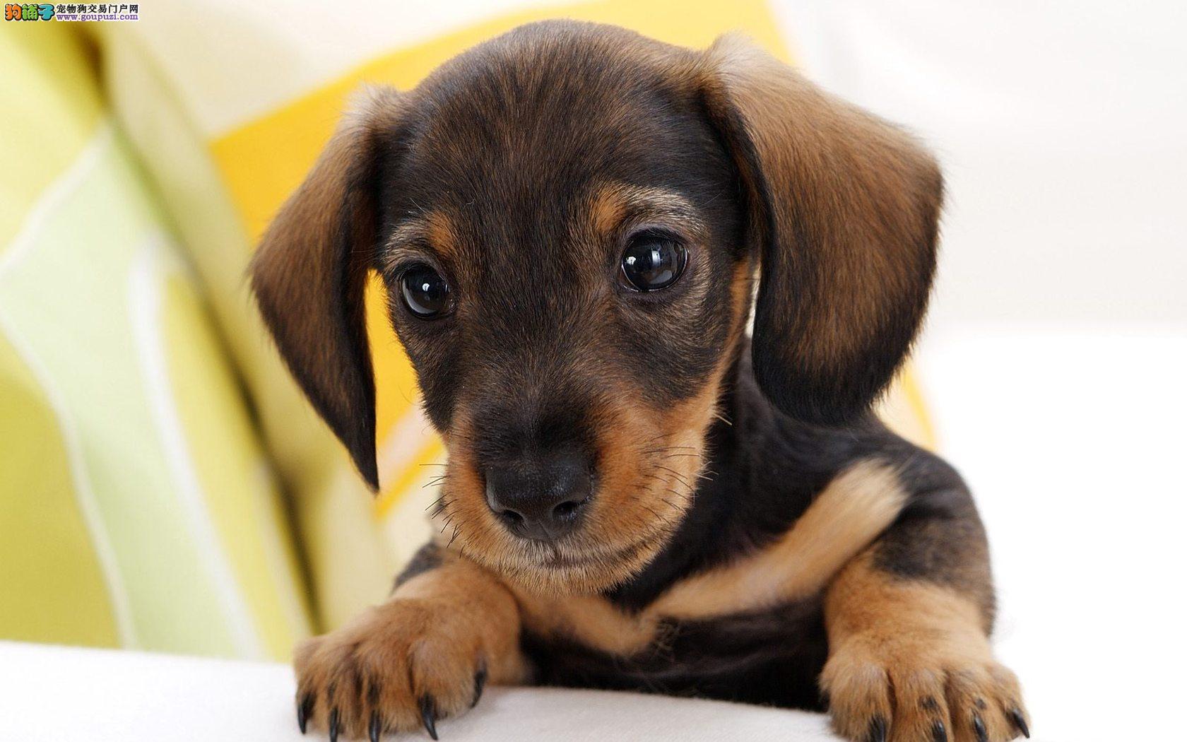 合肥本地出售高品质腊肠犬宝宝假一赔万签活体协议