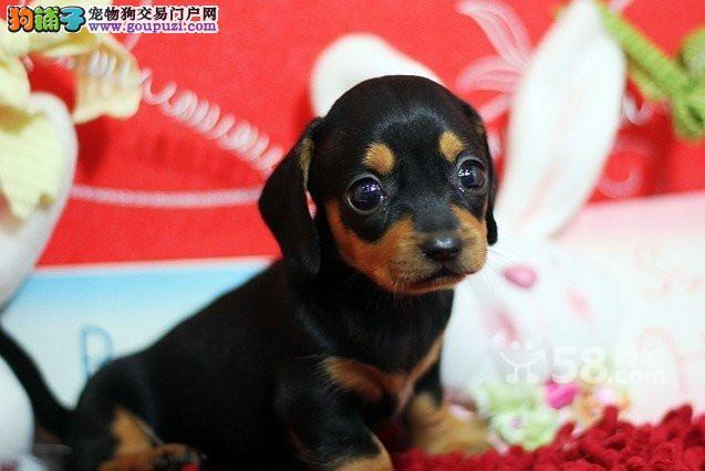 武汉哪里有卖腊肠犬/腊肠犬价格