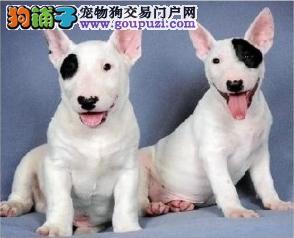 武汉那里有宠物店武汉那里买牛头梗有保障