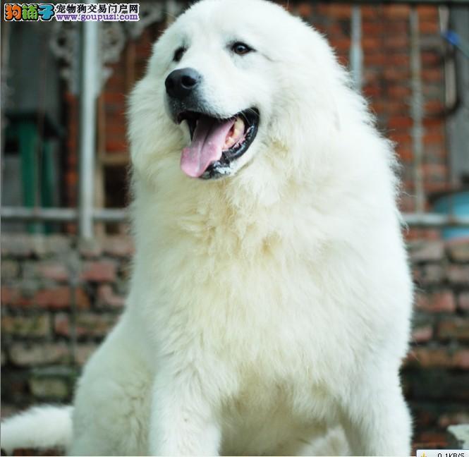 出售大白熊签售后协议包健康纯种可上门挑选