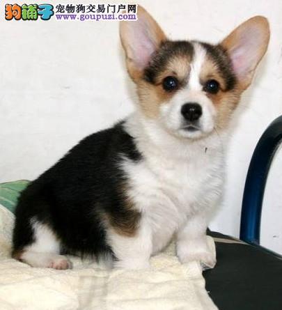 签订终身质保购犬合同 给您最起码的保障成都售柯基犬