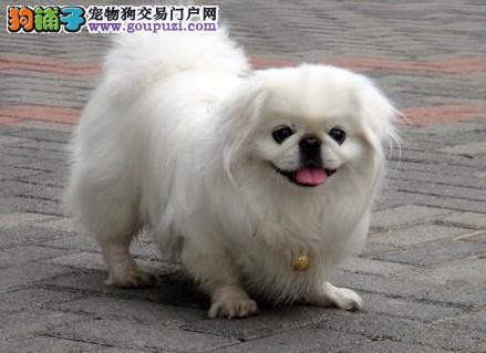 售小京巴宫廷狮子犬深圳犬疫苗驱虫全可包邮