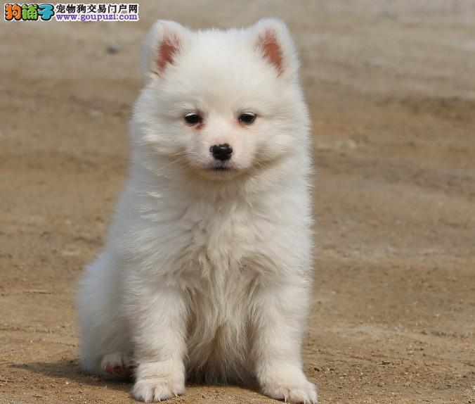 纯白银狐犬出售纯种银狐犬宝宝宠物狗成都哪里有卖