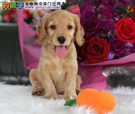 家养纯种健康的可卡幼犬出售 血统纯品相佳图片
