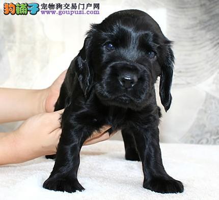 上海出售极品纯种可卡犬在这里优惠纯种和健康可签协议4