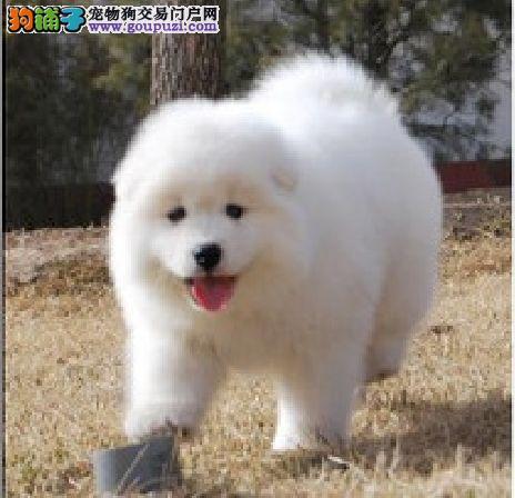 重庆大白熊犬出售,品质保证。