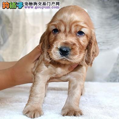 顶级血统赛级纯种可卡犬宝宝火热销售中 欢迎上门选狗图片