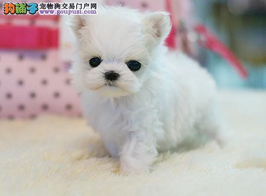赛级品相南通马尔济斯幼犬低价出售金牌店铺有保障