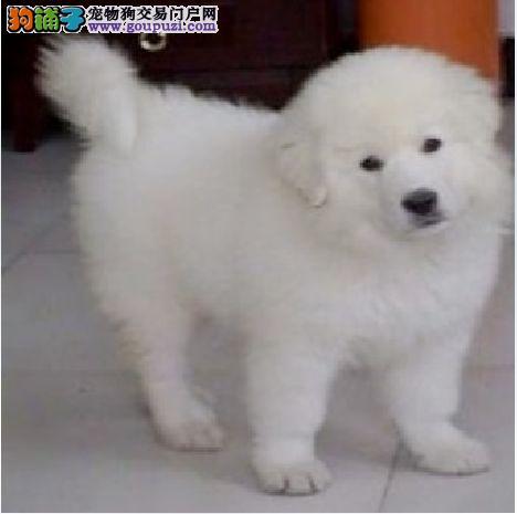 CKU犬舍认证出售高品质青岛大白熊均有三证保障