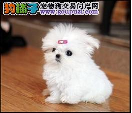 东莞市出售马尔济斯犬 可视频看狗 签售后协议 包养活