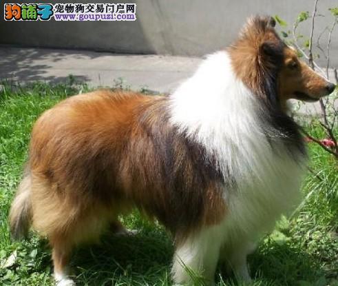 最大犬舍出售多种颜色喜乐蒂保证品质完美售后1