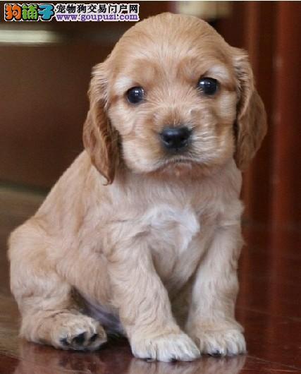 温州繁殖精品可卡犬幼犬样子乖巧可爱听话看视频绝对纯