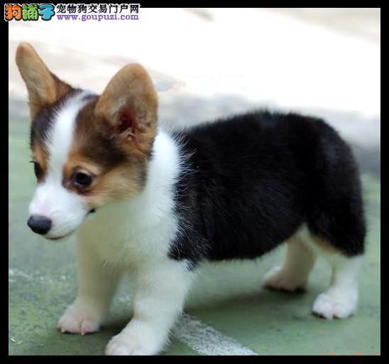 出售纯种威尔士柯基犬 赛级幼犬矮脚狗欢迎上门购买