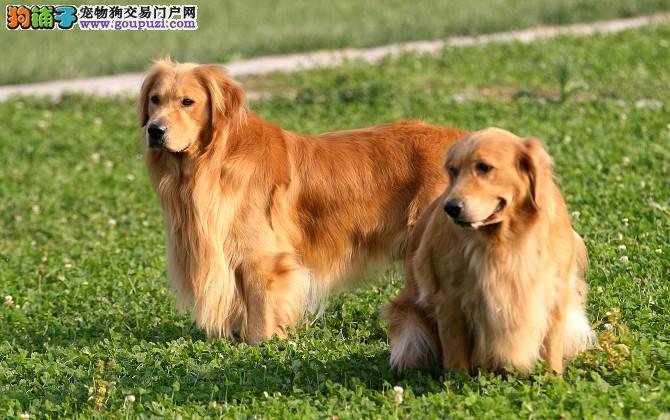 湖州专业繁殖赛级金毛犬金毛犬幼犬可来场挑选终身质保