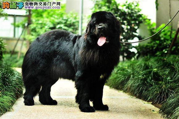 纽芬兰犬大连最大的正规犬舍完美售后大连地区可包邮3