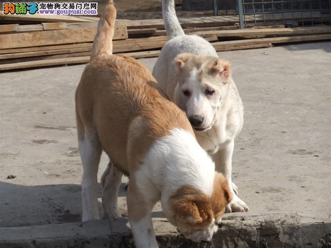 出售多种颜色纯种中亚牧羊犬幼犬签订协议包细小犬瘟热