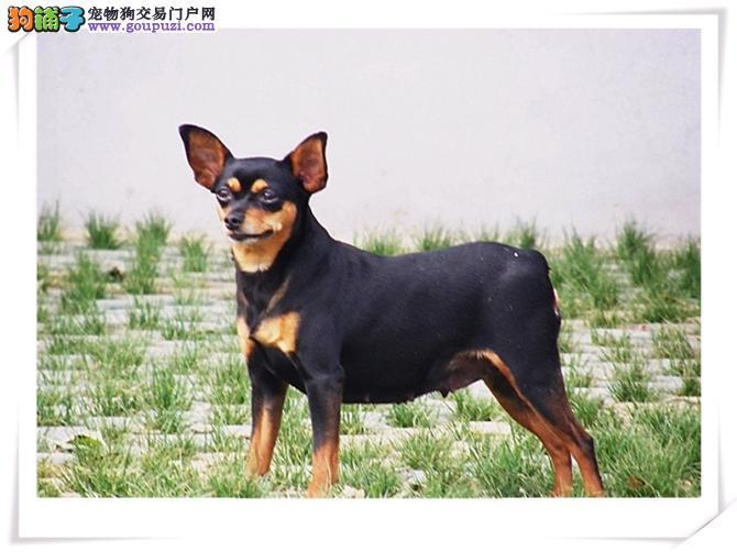 精品高品质小鹿犬幼犬热卖中多种血统供选购图片