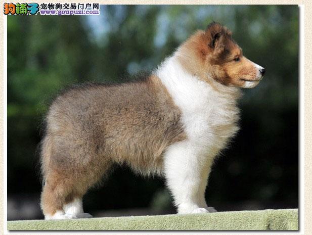 深圳售苏牧纯种健康签协议苏格兰牧羊犬可见父母疫苗齐