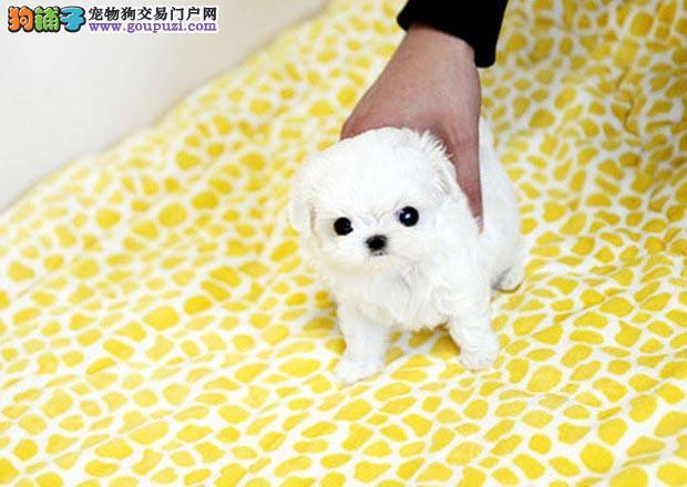 马尔济斯多少钱 广州哪里有卖马尔济斯犬 纯种宠物狗