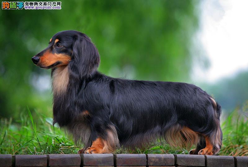 出售纯种腊肠犬小巧可爱泉州犬舍繁殖保证健康完美售后