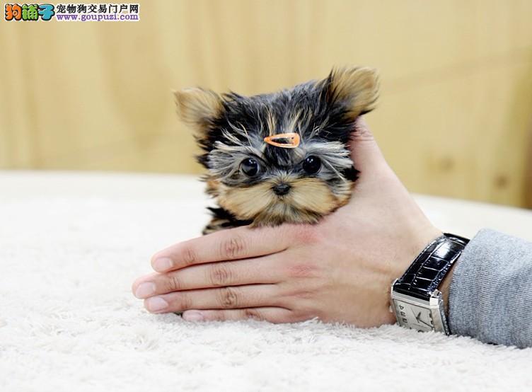 广州约克夏宠物狗 广州哪里有卖约克夏 广州宠物狗