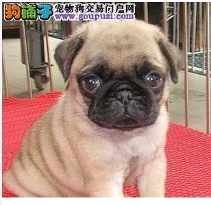 吐鲁番矮脚聪明可爱的巴哥幼犬在自己家里非常迷人又聪明