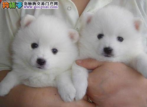 日本银狐犬喜爱吠叫雪白爆毛惹人喜爱
