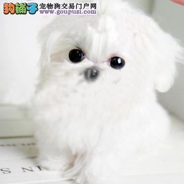 出售纯种的漂亮的马尔济斯幼犬 可上门选购3