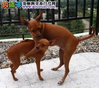 在杭州哪里有卖小鹿犬的,多少钱一只