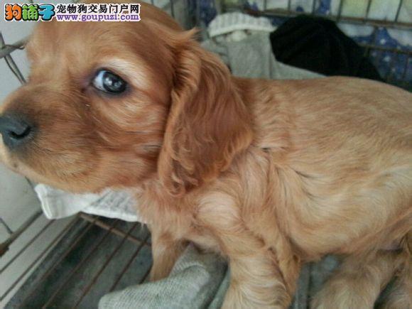 纯种双血统 保证健康 北京可爱的可卡犬宝宝正在热销