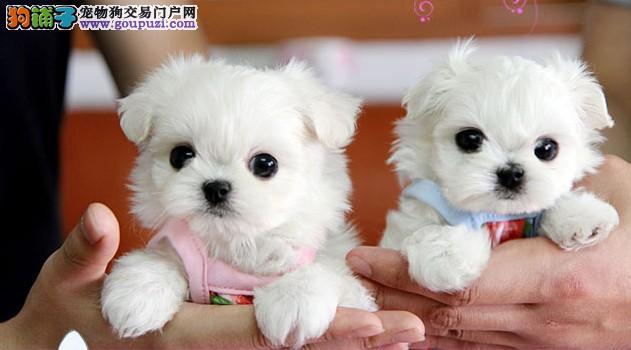 纯种马尔济斯幼犬,专业繁殖包质量,诚信经营保障