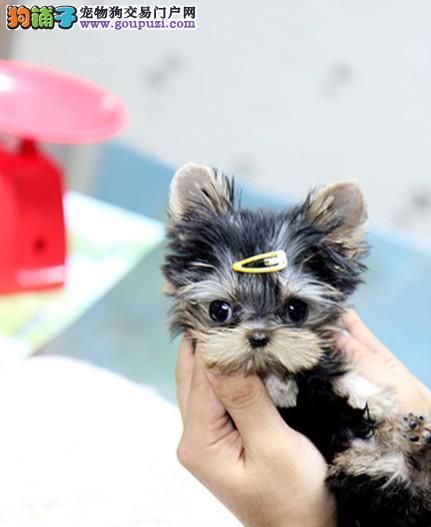 高品质银背蓝背约克夏幼犬出售中疫苗做齐质保三年送货