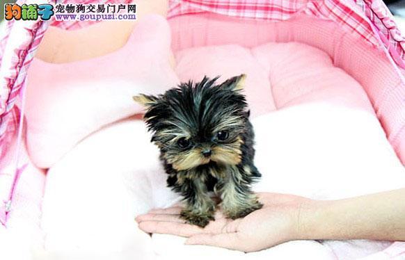 女生最爱养玩具大眼睛约克夏犬湘潭有售金头银背袖珍犬